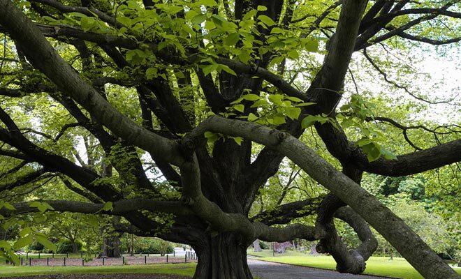 Les dimensions des branches ont de quoi surprendre les visiteurs. Pourtant, ce type d'arbre se retrouve même en ville dans les jardins publics comme celui de Christchurch.