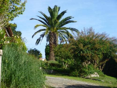 palmier phénix