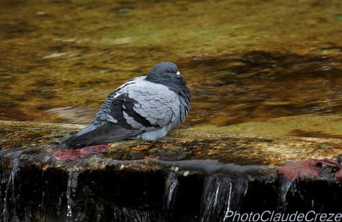 Pigeon au borde de la rivière