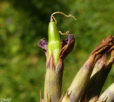 Dianthus seguiri subsp. pseudocollinus  -  oeillet sylvestre