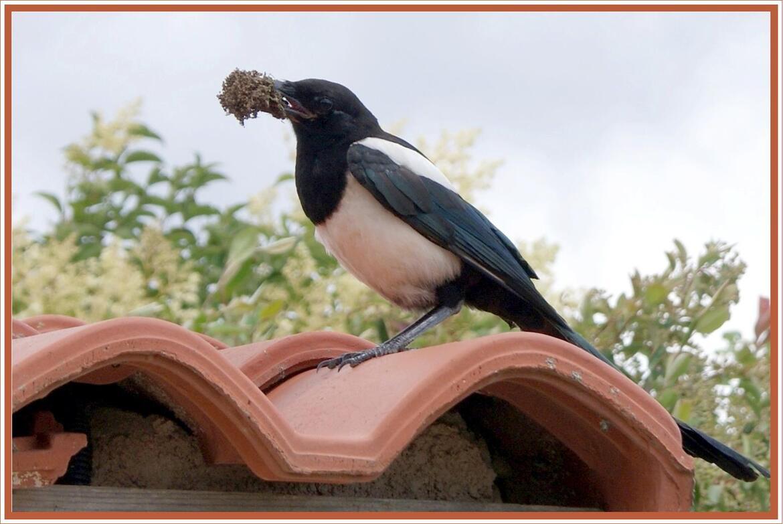 La pie qui fait son nid