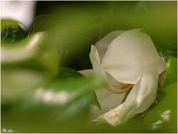 Fleur de magnolia