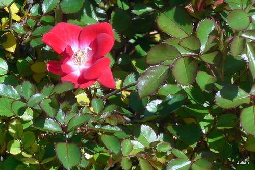 Mes petites roses rouges !