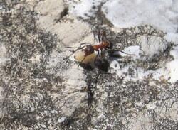La Fourmi de la fourmilière