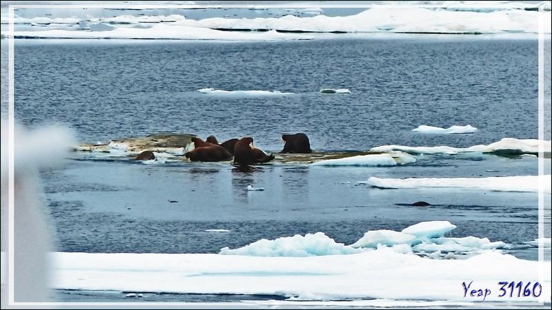 L'après-midi, la recherche des morses reprend en bordure de la banquise, et vers 15 heures, bingo ! - Mer des Tchouktches - Alaska