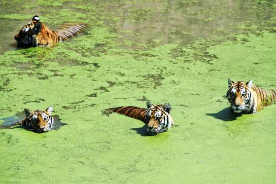 Tigers at Harbin Zoo, China - 04 Aug 2016 Siberian tigers cool themselves off in a pond amid summer heat at a zoo in Harbin, capital of northeast China's Heilongjiang Province