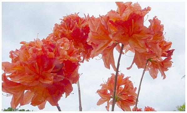 azal-orange.jpg
