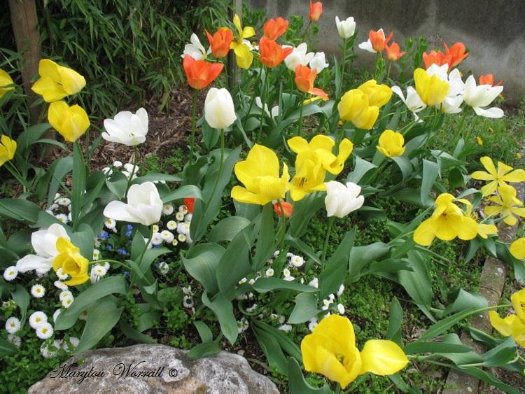 Dernières tulipes