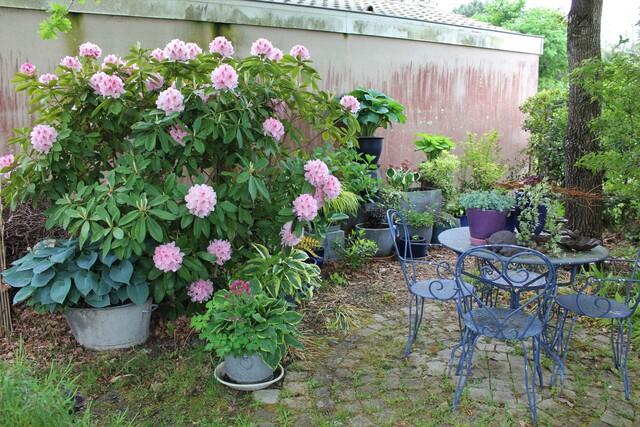 L'ornement printanier de la chambre de verdure : le rhododendron 'Albert Schweitzer'