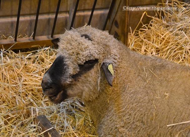 27 février 2012 Mouton Salon de l'Agriculture 3