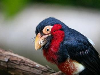 Je le trouve trop drôle cet oiseau barbichu ...