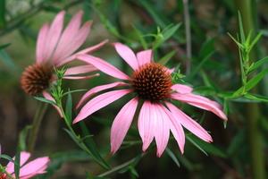 echinacea purpureé magnus