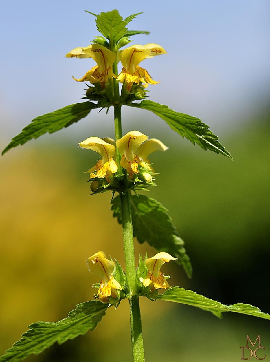 Lamier jaune