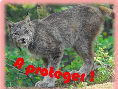 NOVEMBRE : Le célèbre lynx