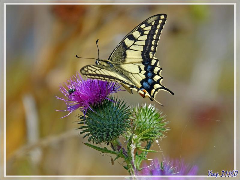 Papillon Machaon, Grand porte-queue, Swallowtail (Papilio machaon) - Loix-en-Ré - Ile de Ré - 17