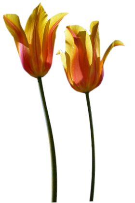 Tubes png tulipes