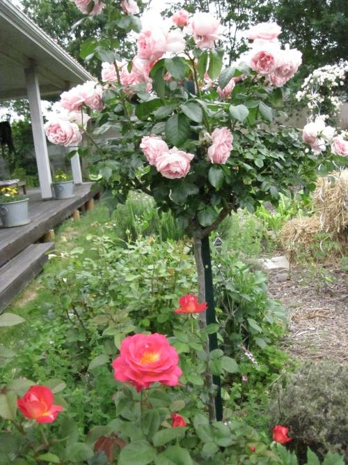 Nouveaux rosiers dans le jardin