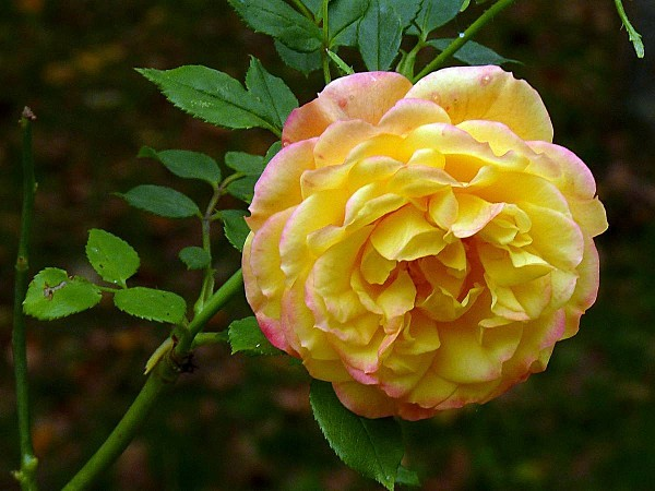 Rose jaune feston rose
