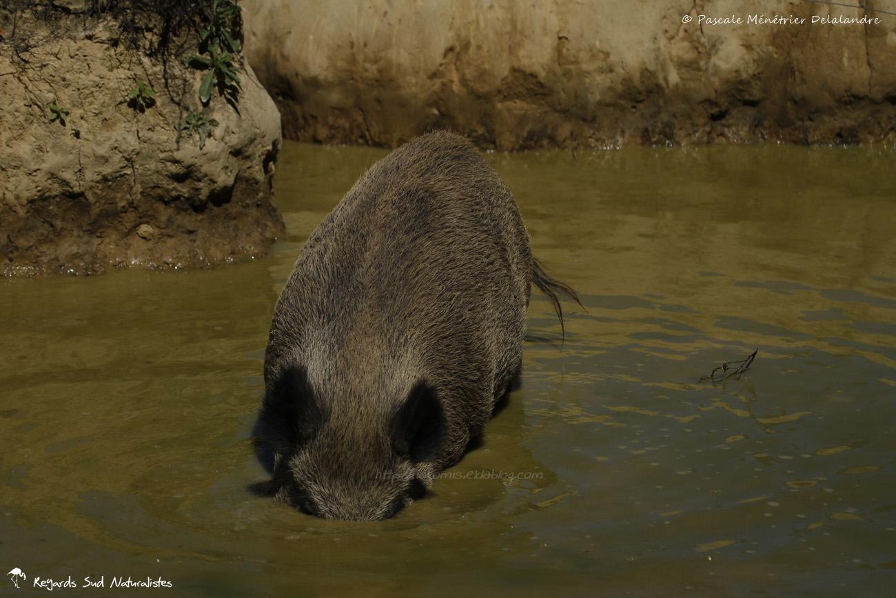 Sanglier au bain