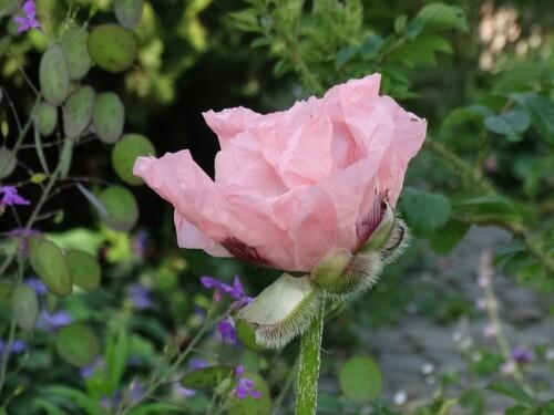 Depuis le chemin avant l'éclosion des roses