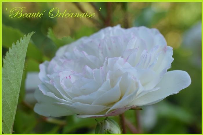 'Beauté Orléanaise'