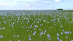 Lin en fleur