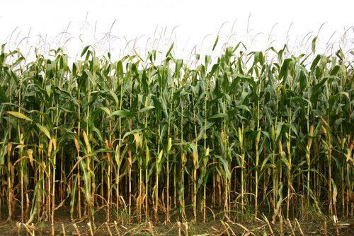 Une espèce de maïs pourrait résoudre l'un des plus gros problèmes environnementaux