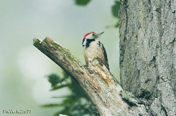 À le découvertes des pics et des passereaux en forêt de Fontainebleau