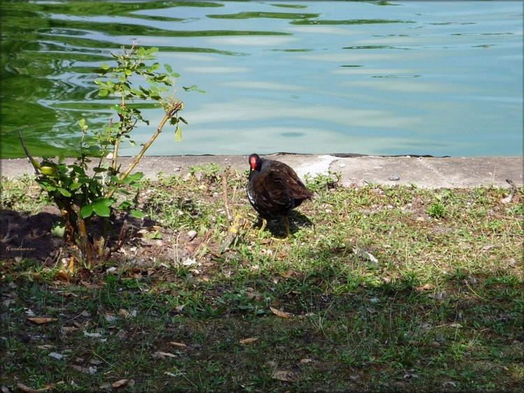 Photo des canards du parc Bordelais