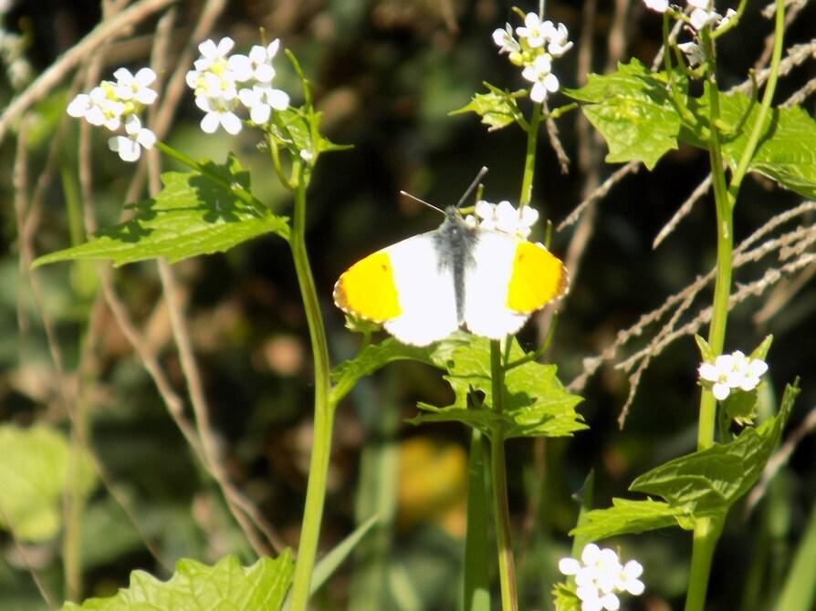 L'Aurore, un superbe papillon