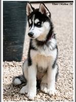 Layka (3 mois)