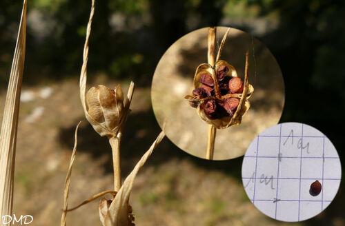 Gladiolus italicus  -  glaieul des moissons, glaieul d'Italie