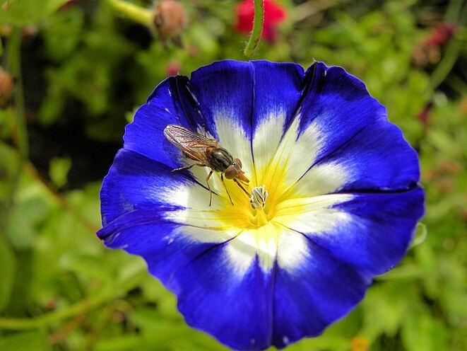 Belle de jour et insecte