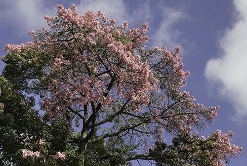 De loin, cela a l' air d' un cerisier en fleurs ...