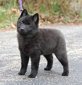 Schipperke+Puppies+Pictures+03