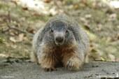 Marmotton