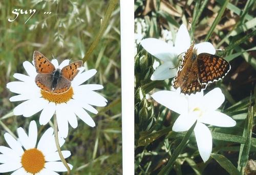 quelques papillons pour travailler mes prises de près ....