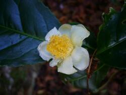 Choisir son Camellia