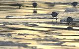 Bécasseau sanderling - p368