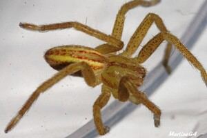 Les araignées : HETEROPIDAE