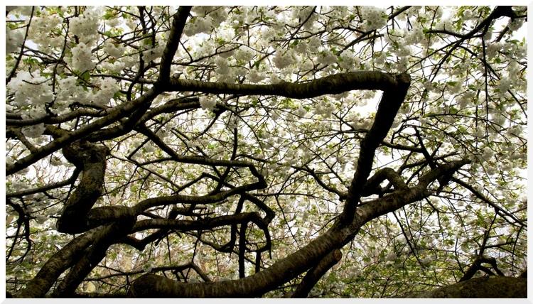 Cerisier du Japon. Paris Jardin des plantes 3.