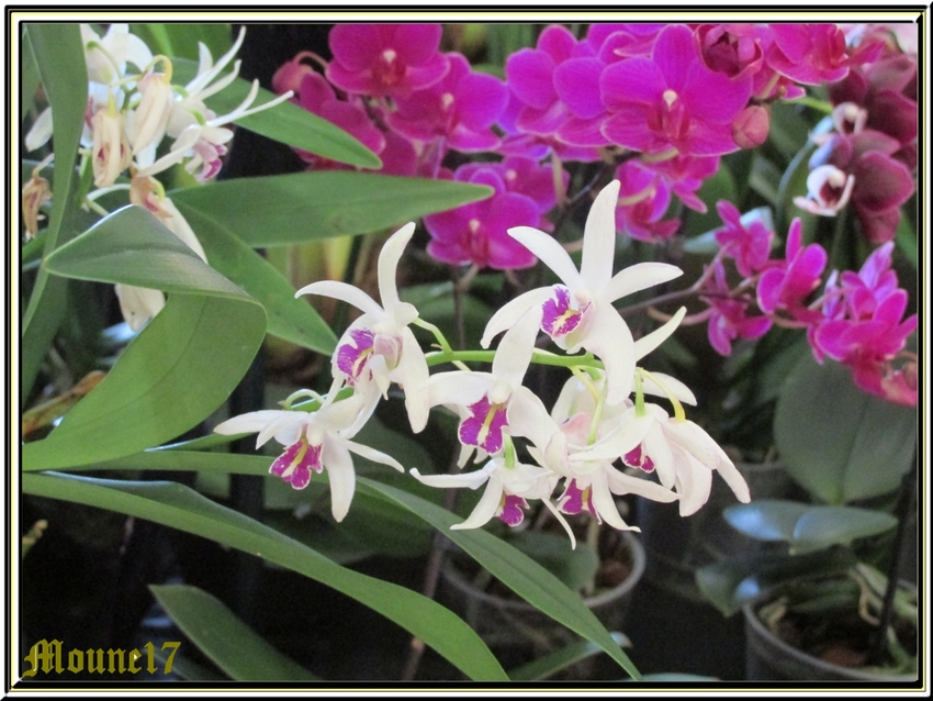 Exposition d'orchidées à La Jarne (17)