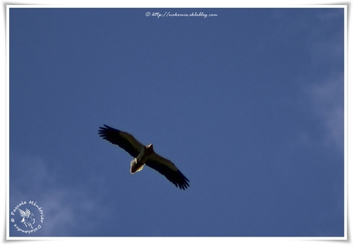 Vautour percnoptère - Neophron percnopterus (Egyptian Vulture) & Vautour fauve - Gyps fulvus (Griffon Vulture)