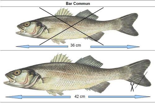 Bar : la Commission propose une taille minimale à 42 cm pour tous
