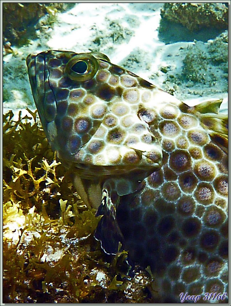 Mérou gâteau de cire ou Loche rayon de miel (Epinephelus merra) - Anse Marie-Louise - Mahé - Seychelles