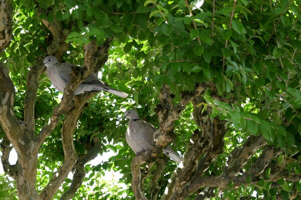 Cocotte, tourterelle rieuse (4)