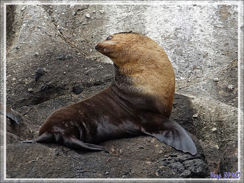 Otarie à fourrure subantarctique, ou Otarie d'Amsterdam, Subandata:text/mce-internal,%3Cimg%20src%3D%22http%3A//eklatarctic fur seal (Arctocephalus tropicalis ) - Nightingale Island - Tristan da Cunha