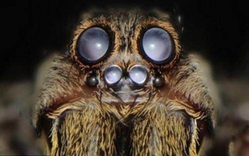 la-mygale-possede-quatre-paires-d-yeux-3-visibles-sur-la-photo_