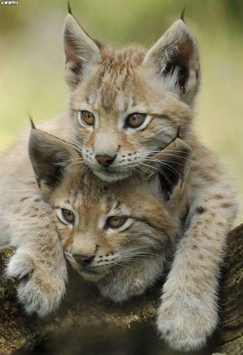 Les Lynx