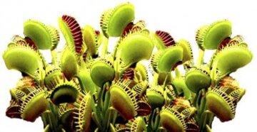 Quand les plantes ont des dents